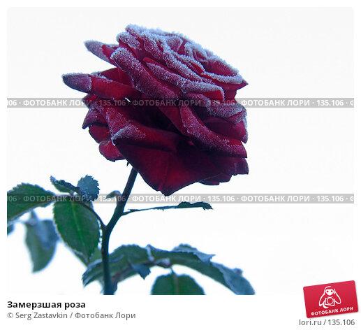 Замерзшая роза, фото № 135106, снято 15 сентября 2005 г. (c) Serg Zastavkin / Фотобанк Лори
