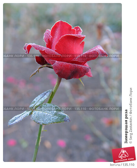 Замерзшая роза, фото № 135110, снято 15 сентября 2005 г. (c) Serg Zastavkin / Фотобанк Лори