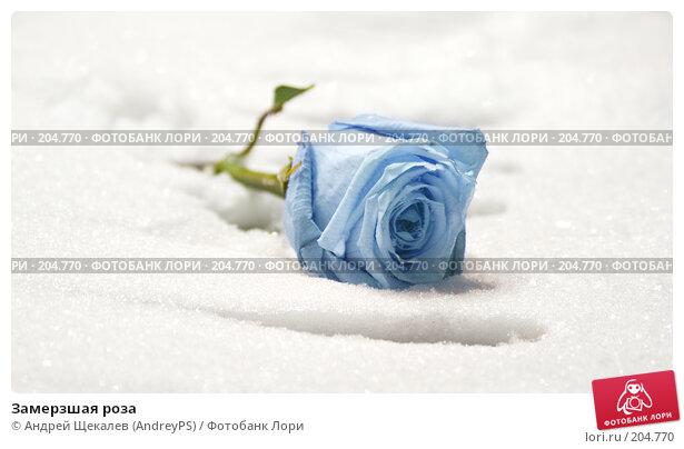 Замерзшая роза, фото № 204770, снято 25 января 2008 г. (c) Андрей Щекалев (AndreyPS) / Фотобанк Лори