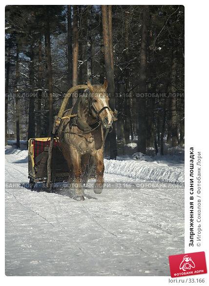 Запряженная в сани лошадка, фото № 33166, снято 17 января 2017 г. (c) Игорь Соколов / Фотобанк Лори