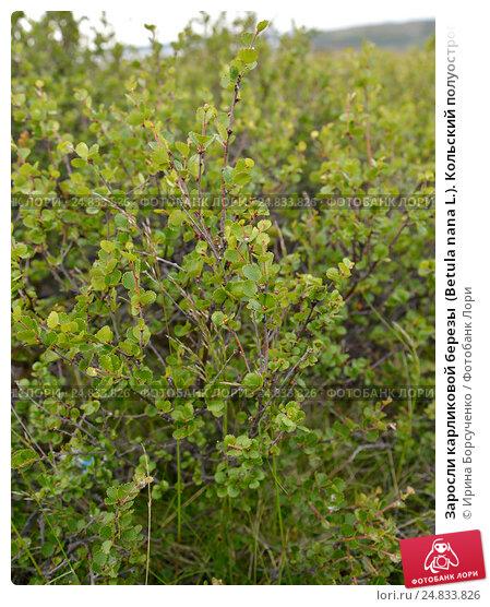 Заросли карликовой березы  (Betula nana L.). Кольский полуостров, фото № 24833826, снято 19 июля 2015 г. (c) Ирина Борсученко / Фотобанк Лори