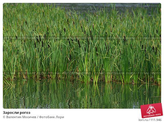Заросли рогоз, фото № 111946, снято 25 июля 2004 г. (c) Валентин Мосичев / Фотобанк Лори