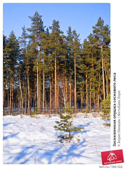 Заснеженная опушка соснового леса, фото № 169122, снято 31 декабря 2007 г. (c) Борис Панасюк / Фотобанк Лори