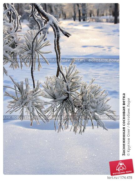 Заснеженная сосновая ветка, фото № 174478, снято 12 января 2008 г. (c) Круглов Олег / Фотобанк Лори