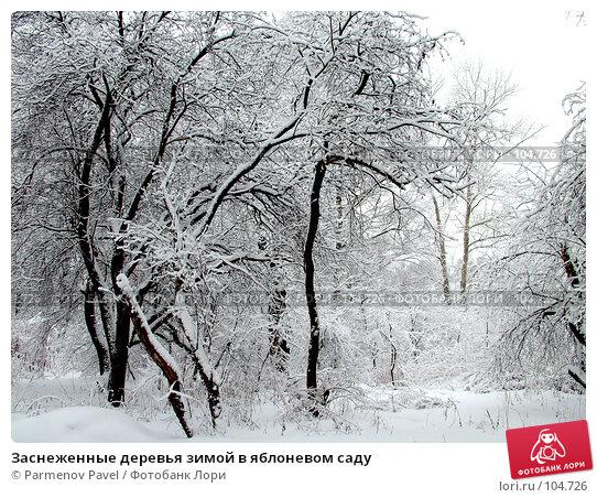 Купить «Заснеженные деревья зимой в яблоневом саду», фото № 104726, снято 24 марта 2018 г. (c) Parmenov Pavel / Фотобанк Лори