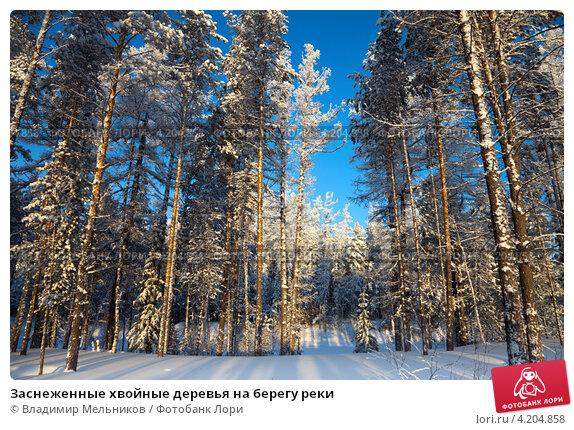 Купить «Заснеженные хвойные деревья на берегу реки», фото № 4204858, снято 18 января 2013 г. (c) Владимир Мельников / Фотобанк Лори