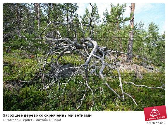 Засохшее дерево со скрюченными ветками, фото № 6642, снято 8 июля 2006 г. (c) Николай Гернет / Фотобанк Лори