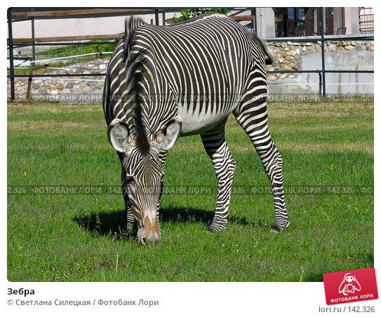 Зебра, фото № 142326, снято 3 июня 2007 г. (c) Светлана Силецкая / Фотобанк Лори