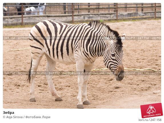 Зебра, фото № 247158, снято 6 апреля 2008 г. (c) Asja Sirova / Фотобанк Лори