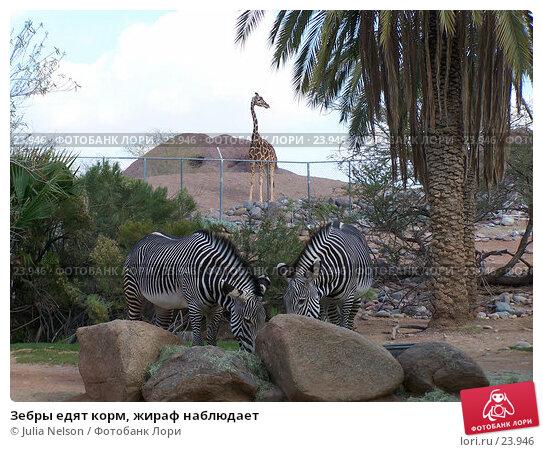 Зебры едят корм, жираф наблюдает, фото № 23946, снято 15 февраля 2007 г. (c) Julia Nelson / Фотобанк Лори