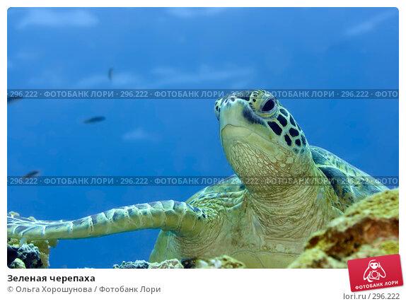 Зеленая черепаха, фото № 296222, снято 8 мая 2008 г. (c) Ольга Хорошунова / Фотобанк Лори