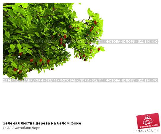 Зеленая листва дерева на белом фоне, иллюстрация № 322114 (c) ИЛ / Фотобанк Лори