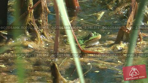 Купить «Зеленая лягушка в пруду», видеоролик № 2740014, снято 25 июля 2011 г. (c) Андрей Некрасов / Фотобанк Лори
