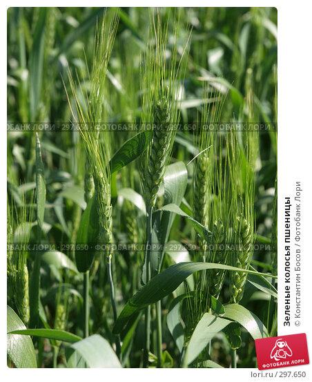 Зеленые колосья пшеницы, фото № 297650, снято 22 мая 2017 г. (c) Константин Босов / Фотобанк Лори