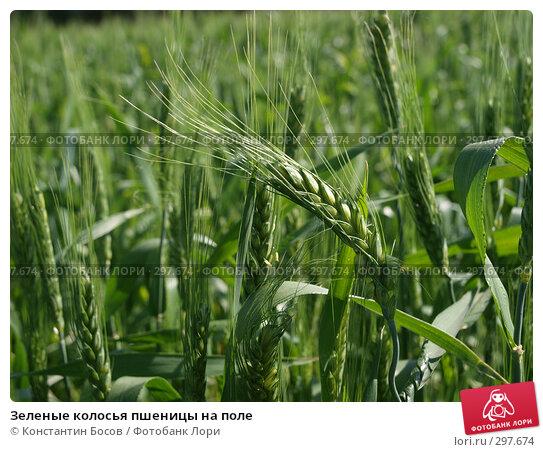 Зеленые колосья пшеницы на поле, фото № 297674, снято 24 января 2017 г. (c) Константин Босов / Фотобанк Лори