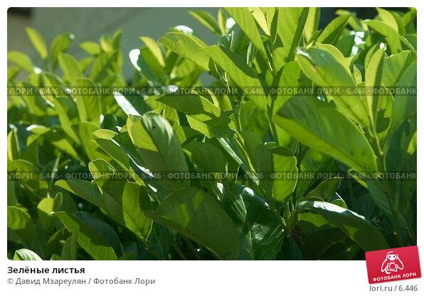 Зелёные листья, фото № 6446, снято 30 июля 2006 г. (c) Давид Мзареулян / Фотобанк Лори