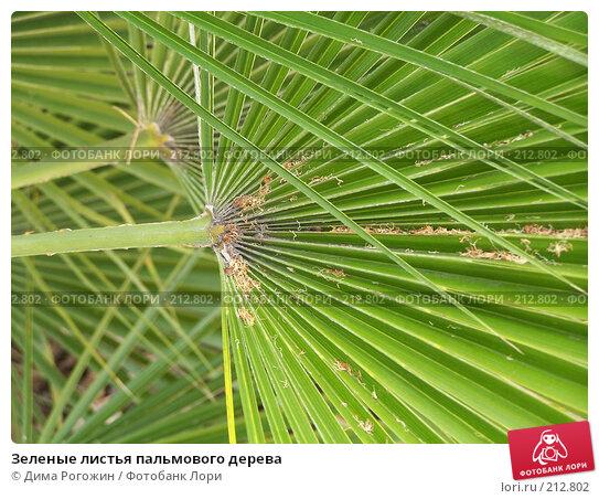 Зеленые листья пальмового дерева, фото № 212802, снято 17 июня 2006 г. (c) Дима Рогожин / Фотобанк Лори