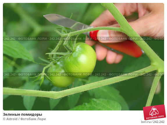Зеленые помидоры, фото № 242242, снято 31 августа 2007 г. (c) Astroid / Фотобанк Лори