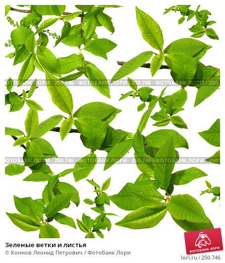 Зеленые ветки и листья, фото № 250746, снято 27 мая 2017 г. (c) Коннов Леонид Петрович / Фотобанк Лори