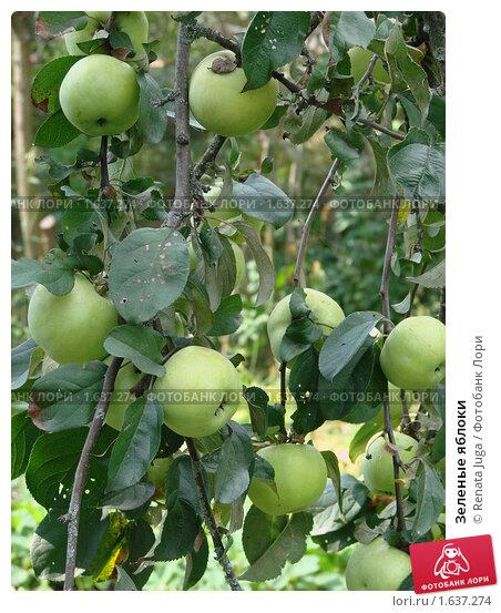 Зеленые яблоки. Стоковое фото, фотограф Renata Juga / Фотобанк Лори