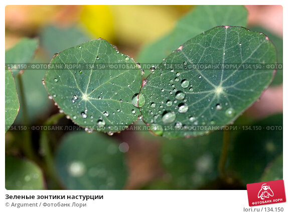 Купить «Зеленые зонтики настурции», фото № 134150, снято 20 октября 2007 г. (c) Argument / Фотобанк Лори