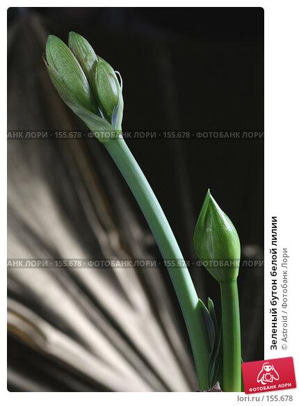 Зеленый бутон белой лилии, фото № 155678, снято 7 апреля 2007 г. (c) Astroid / Фотобанк Лори