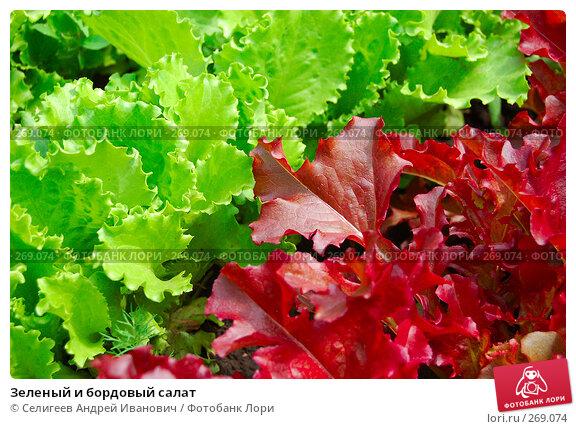 Зеленый и бордовый салат, фото № 269074, снято 17 июня 2006 г. (c) Селигеев Андрей Иванович / Фотобанк Лори