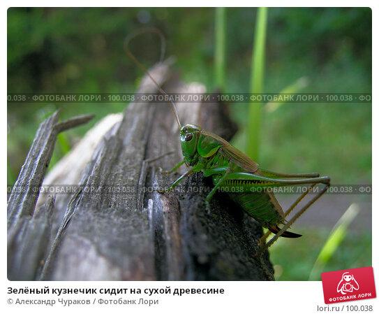 Зелёный кузнечик сидит на сухой древесине, фото № 100038, снято 16 августа 2005 г. (c) Александр Чураков / Фотобанк Лори