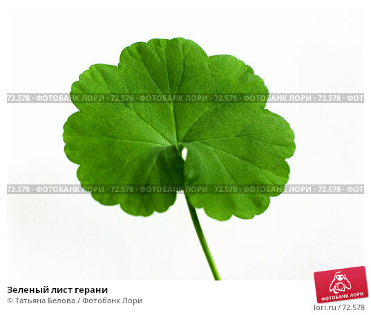 Зеленый лист герани, фото № 72578, снято 29 июня 2007 г. (c) Татьяна Белова / Фотобанк Лори