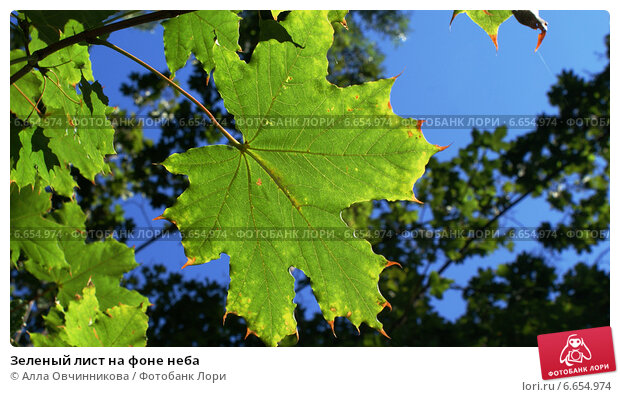 Зеленый лист на фоне неба. Стоковое фото, фотограф Алла Овчинникова / Фотобанк Лори