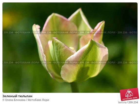 Купить «Зеленый тюльпан», фото № 209234, снято 21 мая 2007 г. (c) Елена Блохина / Фотобанк Лори