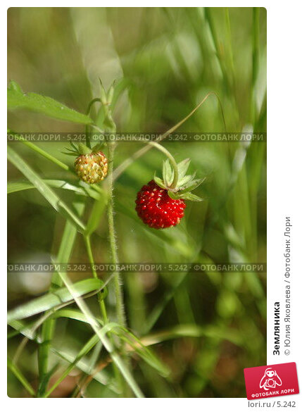 Земляника, фото № 5242, снято 5 июля 2006 г. (c) Юлия Яковлева / Фотобанк Лори