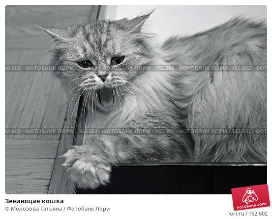 Купить «Зевающая кошка», фото № 162602, снято 2 декабря 2006 г. (c) Морозова Татьяна / Фотобанк Лори