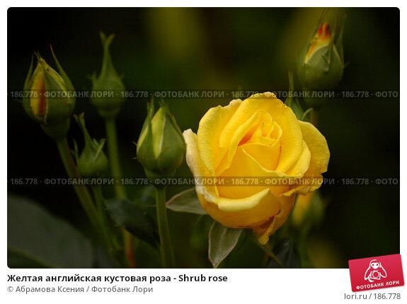 Купить «Желтая английская кустовая роза - Shrub rose», фото № 186778, снято 6 июля 2007 г. (c) Абрамова Ксения / Фотобанк Лори