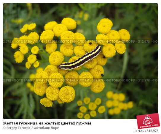 Желтая гусеница на желтых цветах пижмы, фото № 312978, снято 5 августа 2007 г. (c) Sergey Toronto / Фотобанк Лори