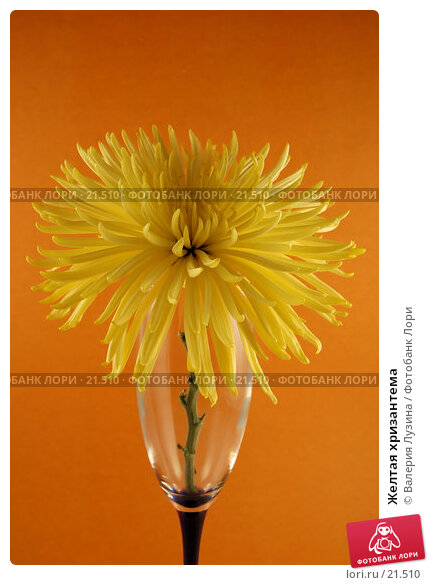 Желтая хризантема, фото № 21510, снято 6 марта 2007 г. (c) Валерия Потапова / Фотобанк Лори