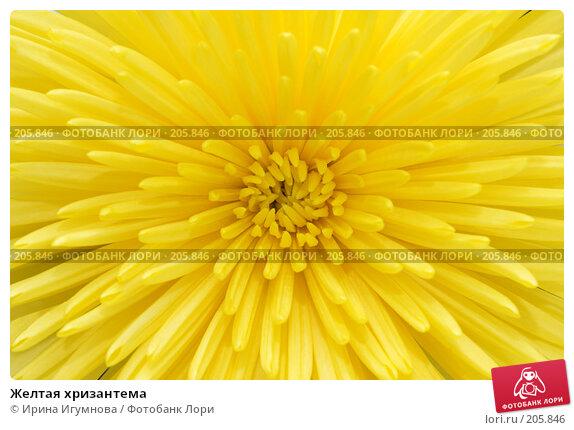 Желтая хризантема, фото № 205846, снято 19 февраля 2008 г. (c) Ирина Игумнова / Фотобанк Лори