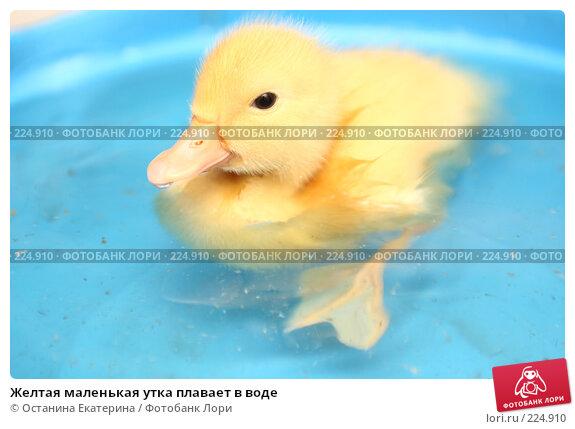 Купить «Желтая маленькая утка плавает в воде», фото № 224910, снято 25 мая 2007 г. (c) Останина Екатерина / Фотобанк Лори