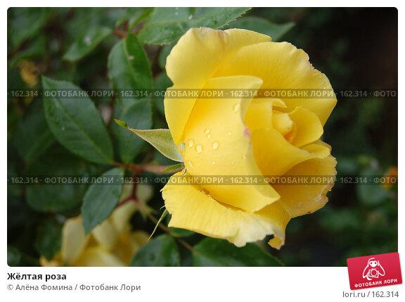 Купить «Жёлтая роза», фото № 162314, снято 25 мая 2006 г. (c) Алёна Фомина / Фотобанк Лори
