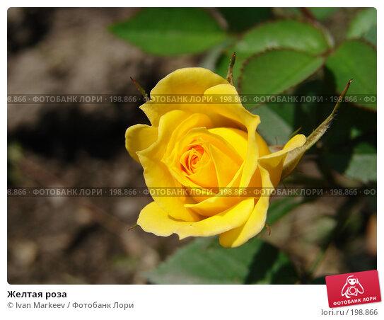Желтая роза, фото № 198866, снято 11 июля 2007 г. (c) Василий Каргандюм / Фотобанк Лори