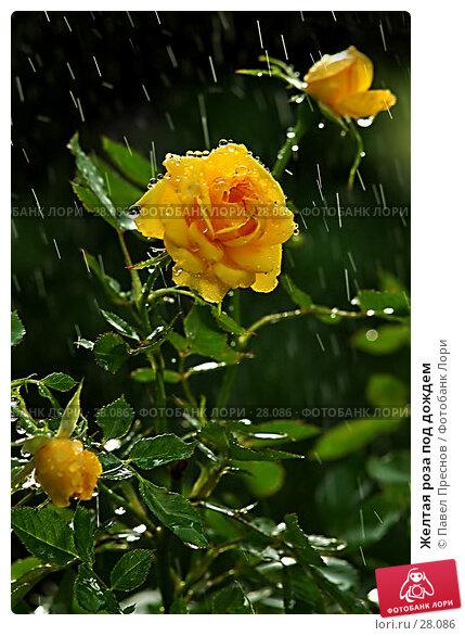 Купить «Желтая роза под дождем», фото № 28086, снято 8 сентября 2006 г. (c) Павел Преснов / Фотобанк Лори