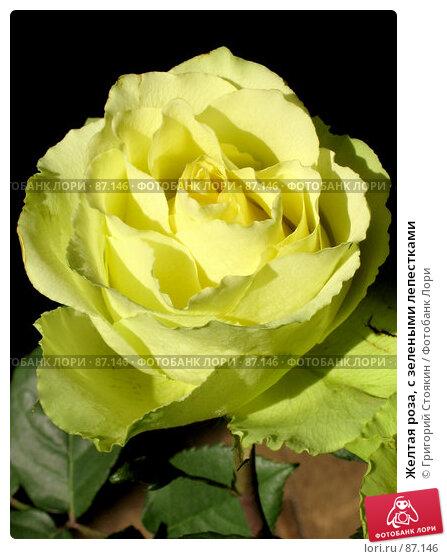 Купить «Желтая роза, с зелеными лепестками», фото № 87146, снято 6 октября 2006 г. (c) Григорий Стоякин / Фотобанк Лори