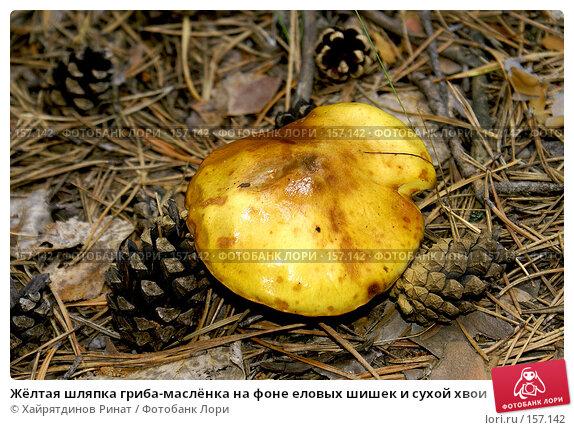 Жёлтая шляпка гриба-маслёнка на фоне еловых шишек и сухой хвои, фото № 157142, снято 6 июля 2007 г. (c) Хайрятдинов Ринат / Фотобанк Лори