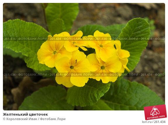 Желтенький цветочек, фото № 261434, снято 20 апреля 2008 г. (c) Королевский Иван / Фотобанк Лори