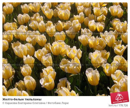 Желто-белые тюльпаны, фото № 178726, снято 3 января 2005 г. (c) Карасева Екатерина Олеговна / Фотобанк Лори