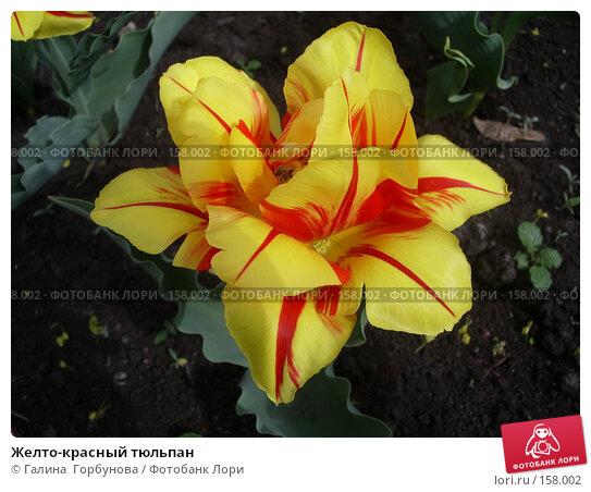 Желто-красный тюльпан, фото № 158002, снято 27 апреля 2006 г. (c) Галина  Горбунова / Фотобанк Лори