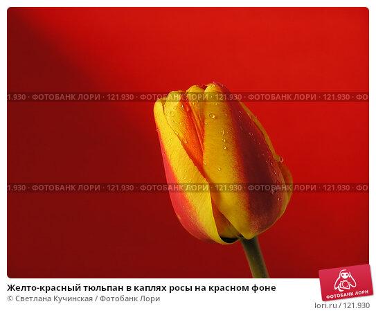 Желто-красный тюльпан в каплях росы на красном фоне, фото № 121930, снято 26 мая 2017 г. (c) Светлана Кучинская / Фотобанк Лори