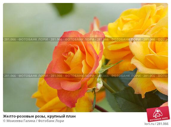 Купить «Желто-розовые розы, крупный план», фото № 281066, снято 10 мая 2008 г. (c) Моисеева Галина / Фотобанк Лори