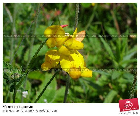 Желтое соцветие, фото № 26698, снято 26 июня 2004 г. (c) Вячеслав Потапов / Фотобанк Лори