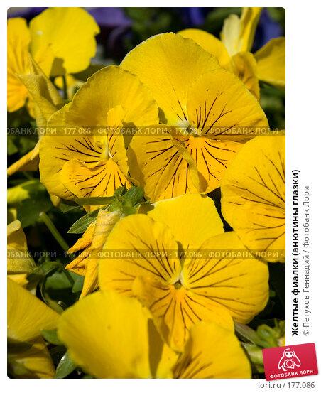 Желтые фиалки (анютины глазки), фото № 177086, снято 23 июня 2007 г. (c) Петухов Геннадий / Фотобанк Лори
